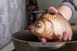 Carpa cruciana viva en primer plano de las manos, cocinando pescado foto