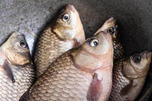 pescado crudo vivo, primer plano de la carpa cruciana. foto