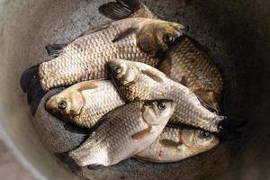 Fresh raw fish, fishing catch crucian carp. photo
