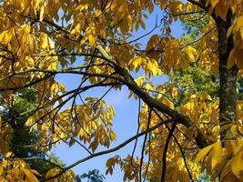 Bright yellow autumn foliage of a shagbark hickory tree photo