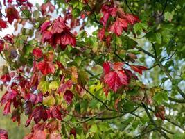 Coloridas hojas de arce en un árbol en otoño foto