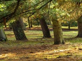 Los troncos de los árboles en un bosque de otoño, North Yorkshire, Inglaterra foto