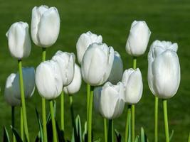 Hermosas flores de tulipán blanco en un jardín. foto