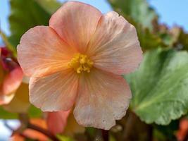 Primer plano de una bonita flor de begonia melocotón foto