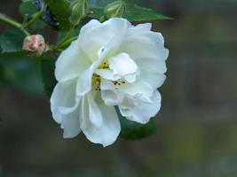 Primer plano de una flor de rosa trepadora blanca foto