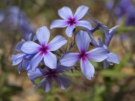 Cerca de bonitas flores phlox rastrero púrpura foto