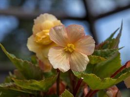 Bonita begonia melocotón floreciendo en un invernadero foto