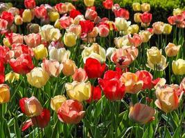 Pantalla de tulipanes mixtos en un jardín de primavera foto
