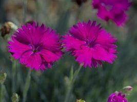 Dos pequeñas flores de estrella de neón dianthus en un jardín. foto