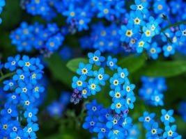 Pretty blue forget-me-not flowers close up