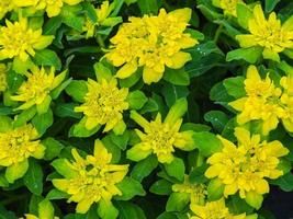 Yellow Euphorbia polychroma flowers seen from above photo