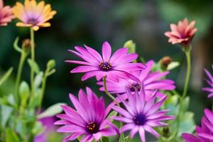 Romantic pink flowers in the garden in spring season photo