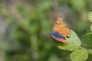 Purple-shot Copper - Lycaena alciphron, Greece photo