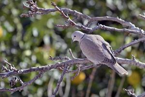 Eurasian Collared Dove - Streptopelia decaocto, Greece photo