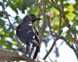 Grajilla euroasiática - Corvus monedula, Grecia foto