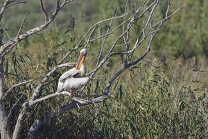 Gran pelícano blanco - Pelecanus onocrotalus, Creta foto