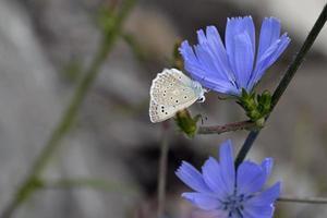 Polyommatus daphnis or Meleageria daphnis - Meleager's Blue, Greece photo