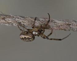 La araña tejedora de orbe de nogal - nuctenea umbratica es una araña de la familia araneidae, Grecia foto