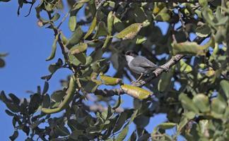 Sardinian warbler - Sylvia melanocephala, Crete photo