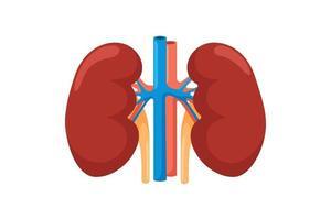 riñón órgano interno humano. Ilustración de vector de anatomía de vista frontal del sistema endocrino urinario