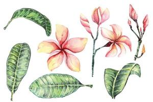 Watercolor plumeria set vector
