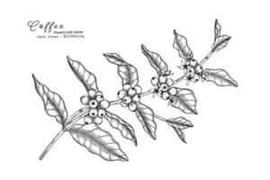 Coffee flower and leaf hand drawn botanical illustration with line art. vector