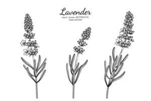 Lavender flower and leaf hand drawn botanical illustration with line art. vector