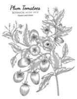 Plum tomato hand drawn botanical illustration with line art on white backgrounds. vector