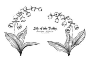 Lily of the valley flower and leaf hand drawn botanical illustration with line art. vector