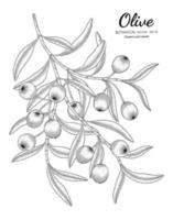 Oilve tree hand drawn botanical illustration with line art on white backgrounds. vector