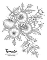 Tomato hand drawn botanical illustration with line art on white backgrounds. vector