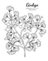 Ginkgo hand drawn botanical illustration with line art on white backgrounds. vector
