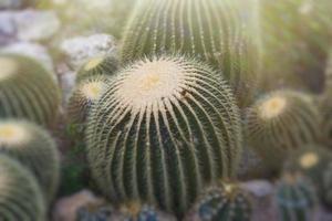 Close-up de cactus verdes de varios tamaños. foto