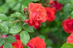 Close-up de rosas rojas con un fondo verde borroso de hojas foto