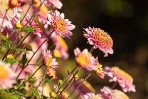 Close-up of a group of chrysanthemums photo