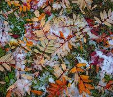 hojas de colores sobre la hierba nevada foto