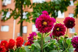 Pink dahlia flowers with a blurry building in the background photo