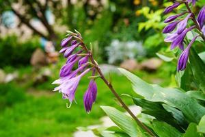 Purple flowers in a flower bed in a garden photo