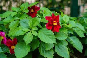 Dalias rojas en un parterre en un jardín. foto