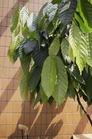 Green leaves of a cocoa tree photo