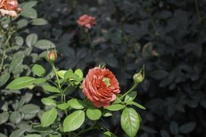 Beautiful rose garden in summer photo