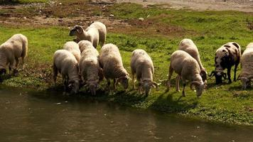 A Sheep Herd By The River video