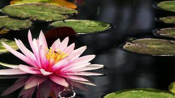 flores de loto rosa en el lago video