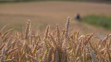 campo de trigo na natureza video