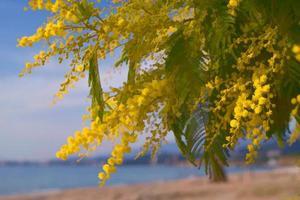 exuberantes y brillantes las ramas de plata de acacia foto