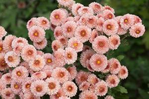 Pink chrysanthemum flowers on a green bush photo