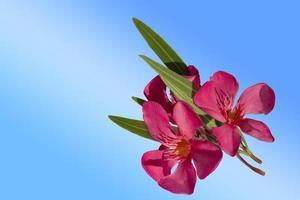 Flor de adelfa rosa aislado sobre un fondo azul. foto