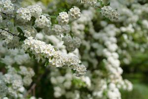 Arbustos con pequeñas flores blancas sobre un fondo de hojas verdes foto