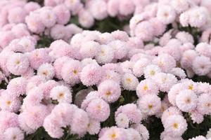 Fondo floral de delicados crisantemos rosados. foto