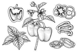 conjunto de pimiento morrón elementos dibujados a mano ilustración botánica vector